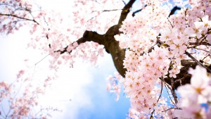 790952-download-sakura-flower-wallpaper